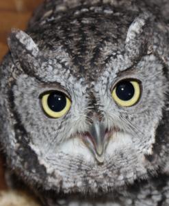 Peanut Western Screech-owl
